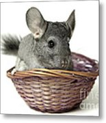 Chinchilla In A Straw Basket  Metal Print