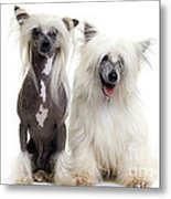 Chinese Crested Dogs Metal Print