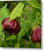 Chinese Lanterns Refreshed By The Rain Metal Print
