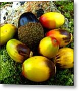 Chinquapin Harvest Metal Print
