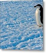Chinstrap Penguin Metal Print
