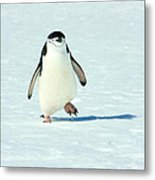 Chinstrap Penguin Running Metal Print