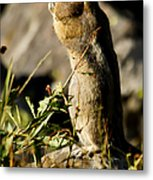 Chipmunk   #9594 Metal Print