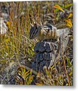 Chipmunk In Yellowstone Metal Print