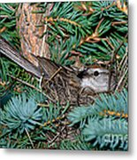 Chipping Sparrow On Nest Metal Print