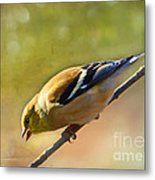 Chirping Gold Finch - Painted Effect Metal Print