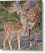 Chital Deer And Fawn Metal Print