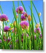 Chive Flowers And Buds Metal Print