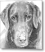 Chocolate Lab Sketched In Charcoal Metal Print