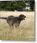 Chocolate Labradoodle Running In Field Metal Print