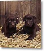 Chocolate Labrador Puppies Metal Print
