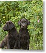 Chocolate Labrador Retriever Puppies Metal Print