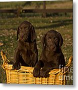 Chocolate Labrador Retriever Pups Metal Print
