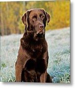 Chocolate Labrador Retriever Metal Print