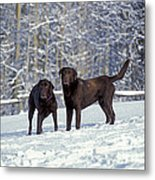 Chocolate Labrador Retrievers Metal Print