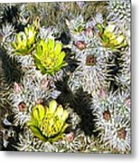 Cholla Flowers Metal Print