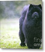 Chow Chow Dog Metal Print