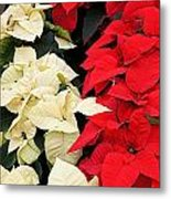 Christmas Poinsettia's Metal Print