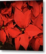 Christmas Poinsettias Metal Print