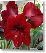 Christmas Red Amaryllis Flowers Metal Print