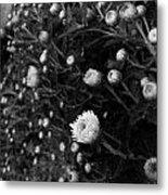 Chrysanthemes Original Metal Print