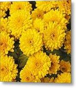 Chrysanthemum 'branhalo' Metal Print