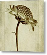 Chrysanthemum In Sepia Metal Print