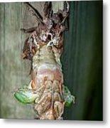 Cicada Emerging Metal Print