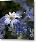 Cineraria  1217 Metal Print by Terri Winkler