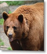 Cinnamon Black Bear Metal Print