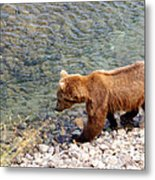 Cinnamon-colored Grizzly Bear By Moraine River In Katmai Np-ak  Metal Print