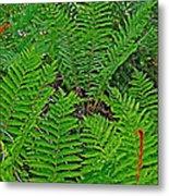 Cinnamon Ferns Along Skyline Trail In Cape Breton Highlands Np-n Metal Print