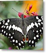 Citrus Swallowtail Butterfly  Metal Print