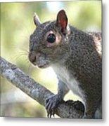 City Squirrel On The Hunt Metal Print by Belinda Lee