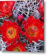 Claretcup Cactus In Bloom Wildflowers Metal Print
