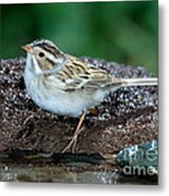 Clay-colored Sparrow Spizella Pallida Metal Print