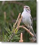 Clay-coloured Sparrow Pictures 35 Metal Print