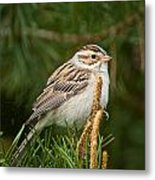 Clay-coloured Sparrow Pictures 50 Metal Print