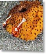 Cleaner Shrimp On Sea Cucumber Metal Print