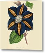 Clematis Star Of India Metal Print