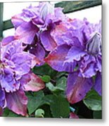 Clematis Vyvyan Pennell Metal Print