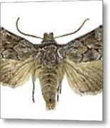 Cleonymia Yvanii Moth Metal Print