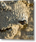 Cliff Swallow About To Fledge Metal Print