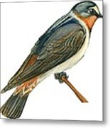 Cliff Swallow  Metal Print