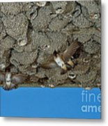 Cliff Swallows At Nests Metal Print