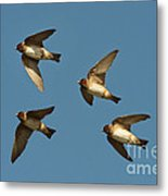 Cliff Swallows Flying Metal Print