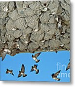 Cliff Swallows Returning To Nests Metal Print