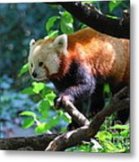 Climbing Red Panda Bear Metal Print