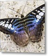 Clipper Butterfly Metal Print