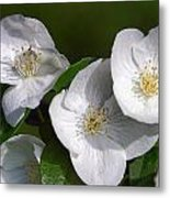 Close Trio Of White Flowers Metal Print